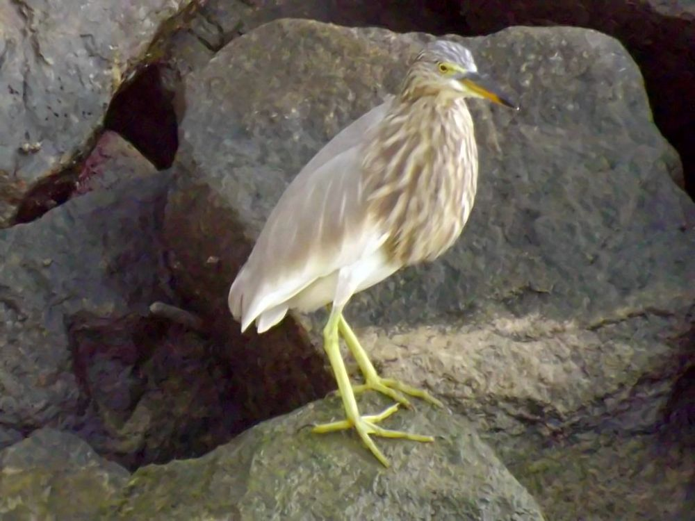 pond heron advanced by Chris Roughley