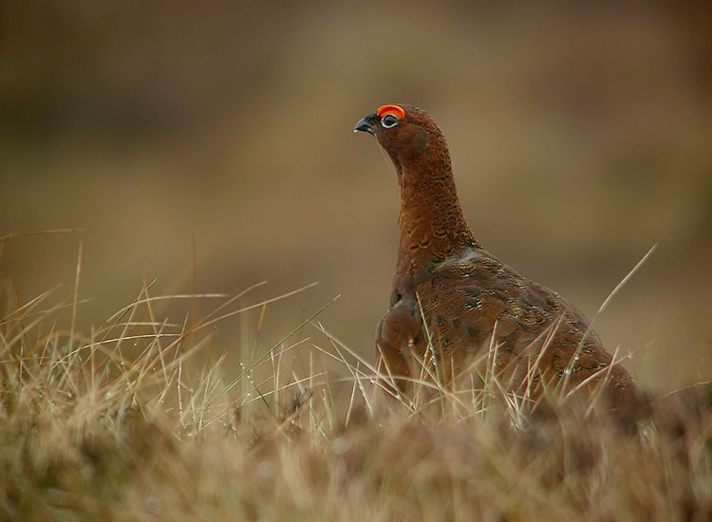 Red-Grouse by craigshaw902