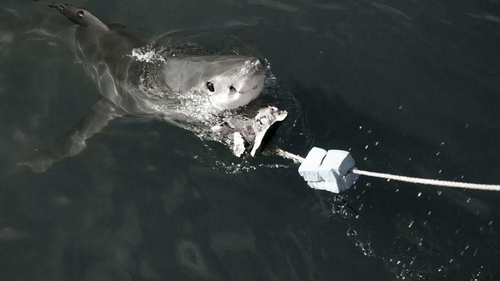 Mossel Bay shark by DAZZAN