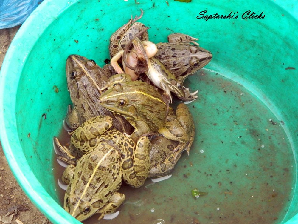 EDIBLE FROGS OF NAGALAND by psihrishi