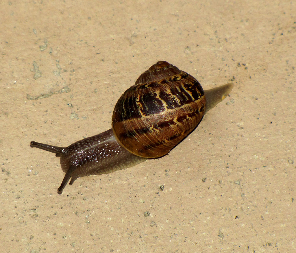 A Garden snail 05 2012 by RMMEIER