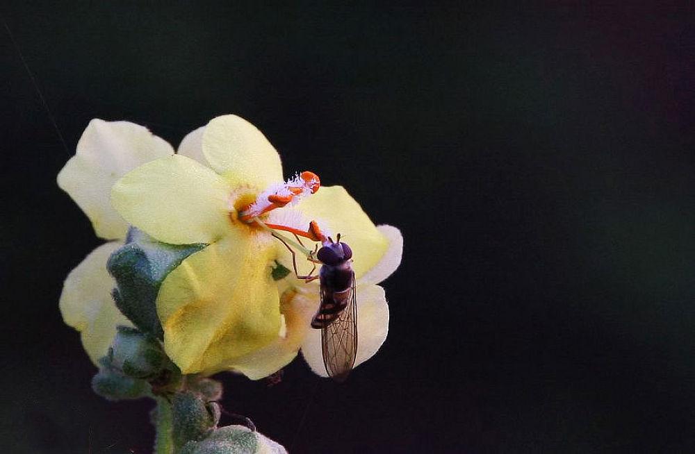 Bee and Yellow Flower by yolyordam