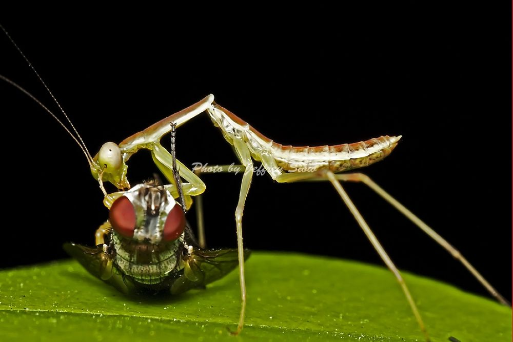 Mantis with prey. by JeffSiow