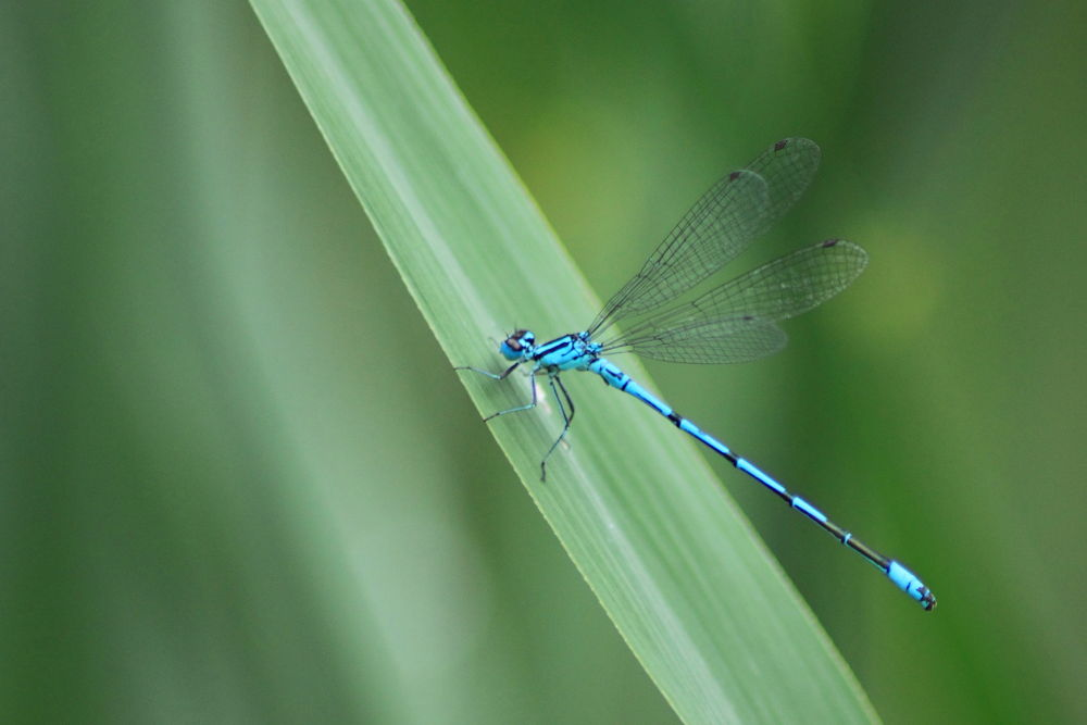 Agrion Fabricius by christophejourdain790