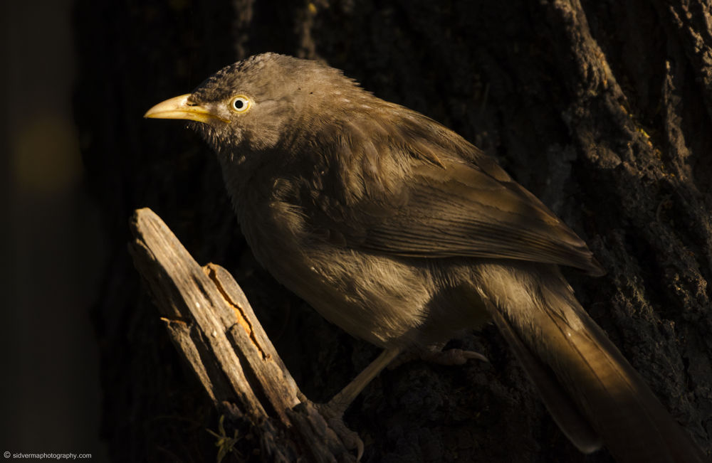 Playing in the shadows!!! - (Jungle Babbler) by vermasid
