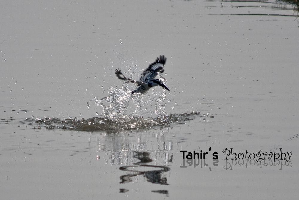 pied Kingfisher by tahir abbas