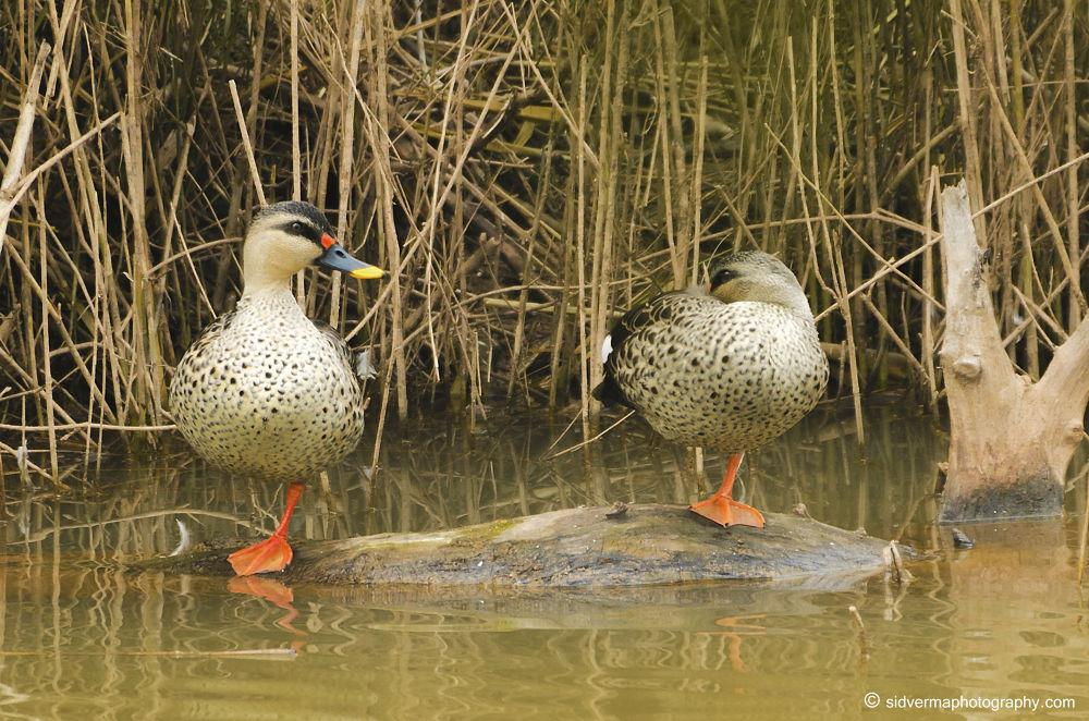 Spot-billed Ducks by vermasid
