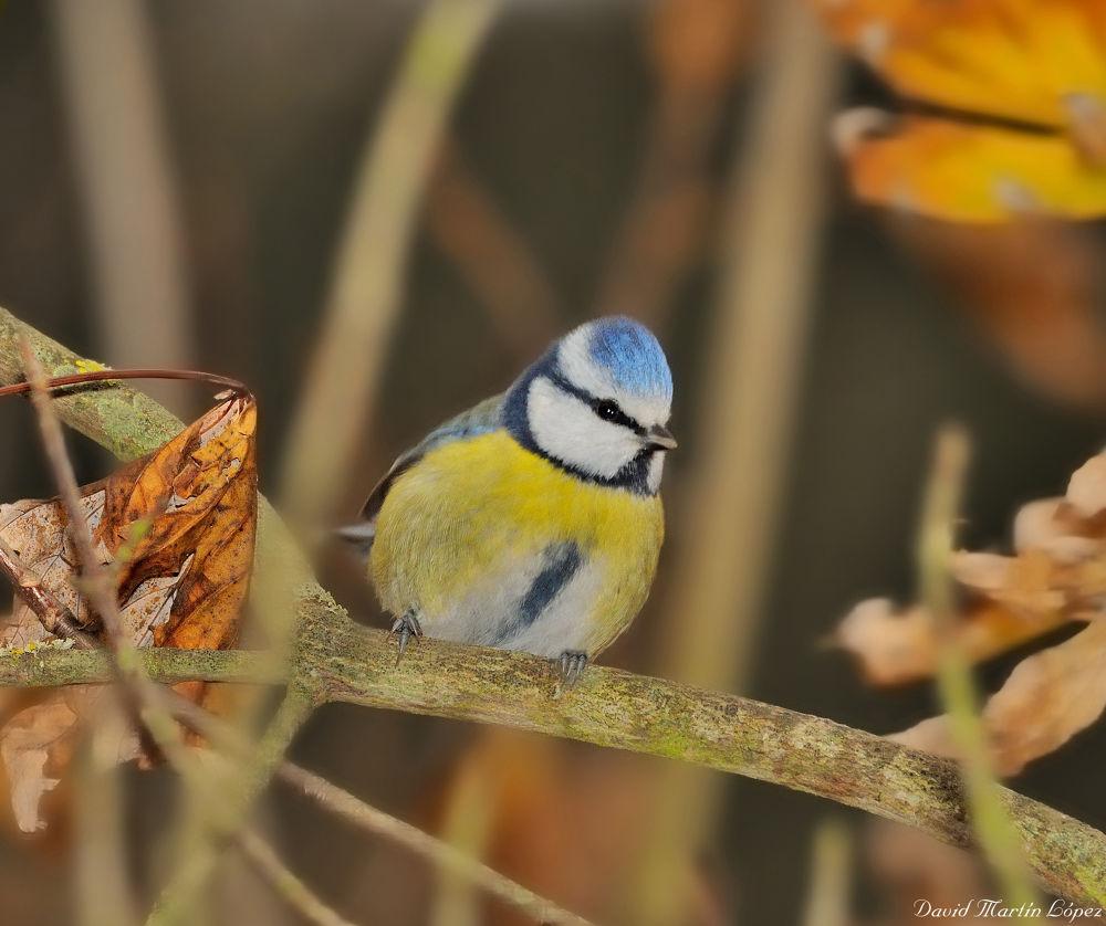 Blue tit by davidmartinlopez