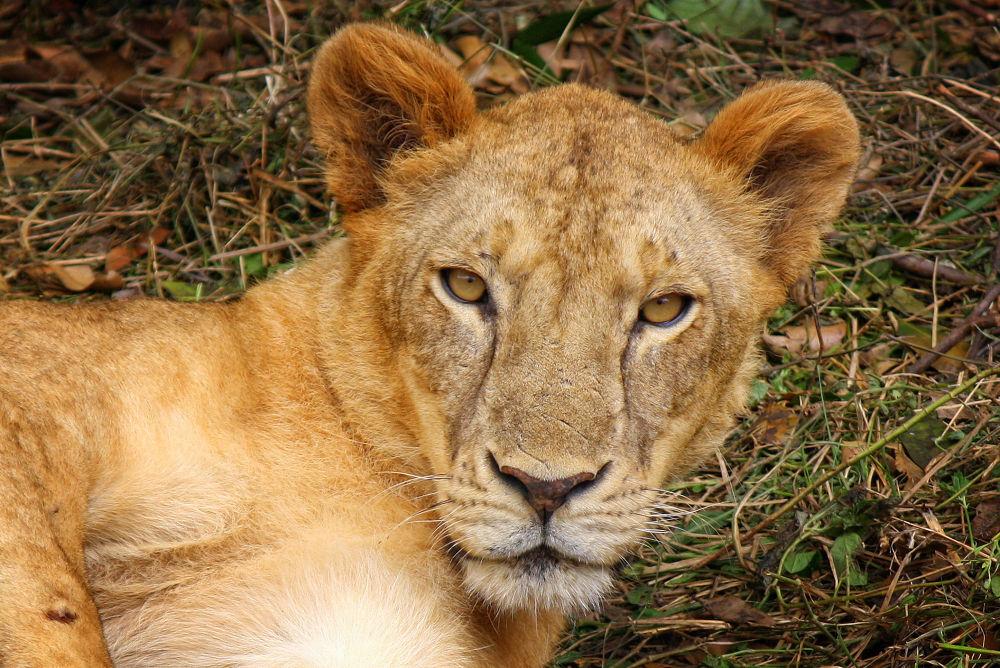 Lioness (11) by Jorge Coromina