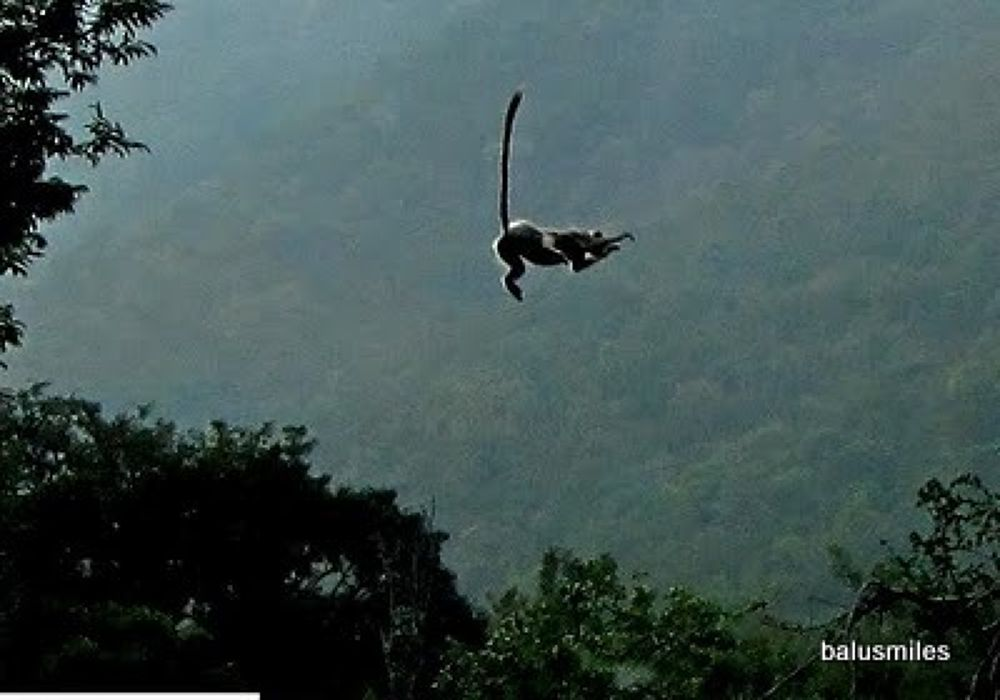 langoor jump by balasubrahmanaya.k.s