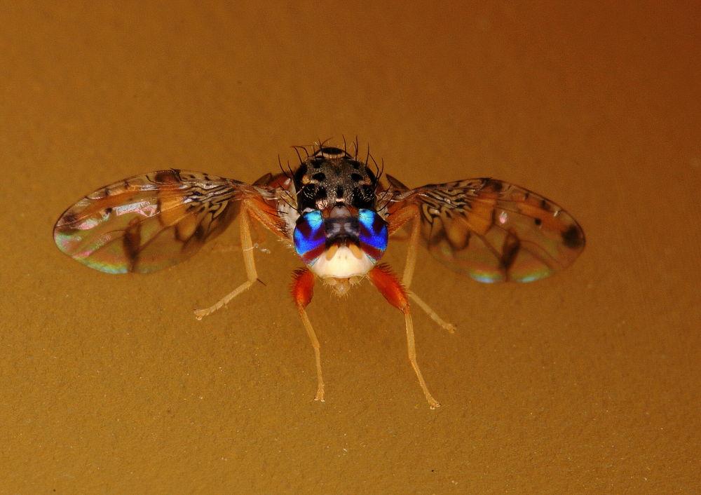 DSC03417-Ceratitis capitata- Mediterranean fruit fly by lema
