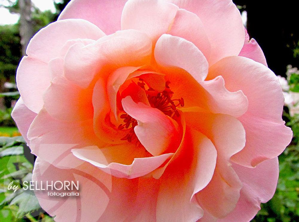 768 (1) by sellhorn