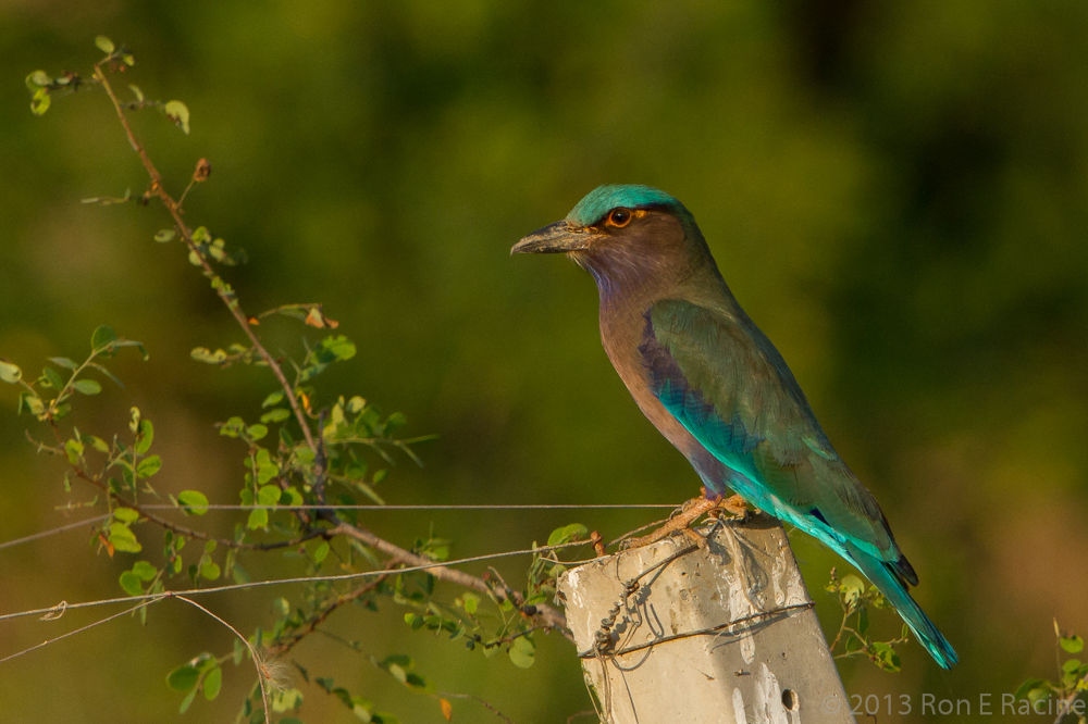 Indian Roller by RonERacine