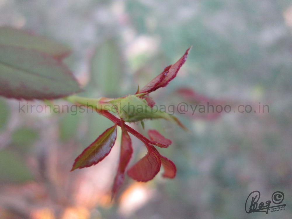 rose core by Kironangshu Sekhar Bag
