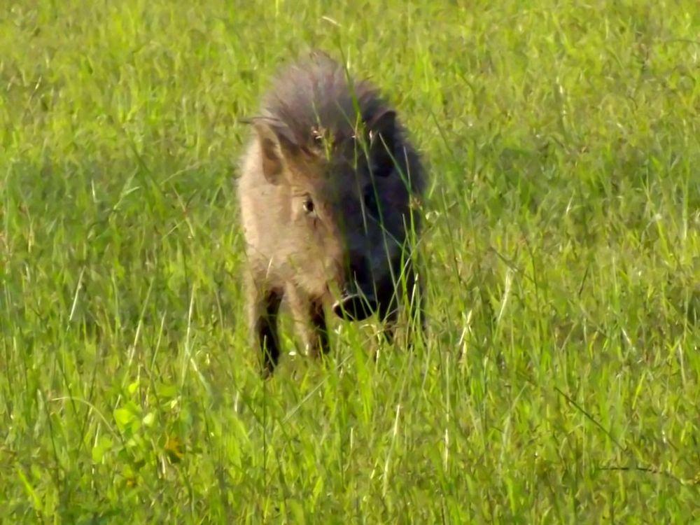 boar enhanced by Chris Roughley
