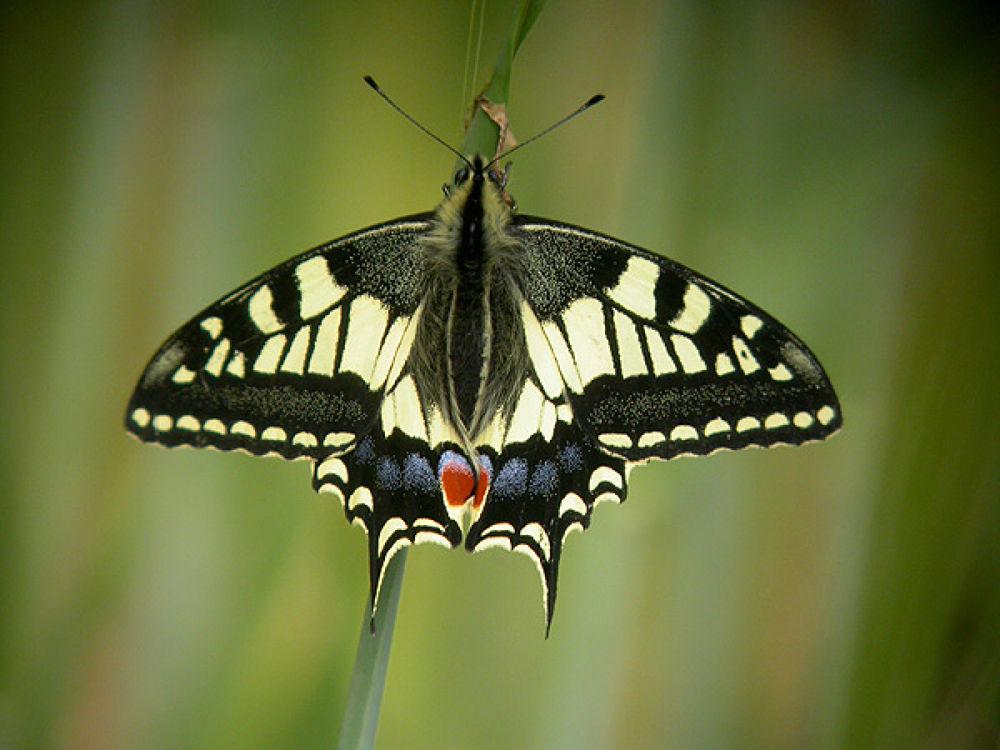 Swallowtail-strum2 by craigshaw902