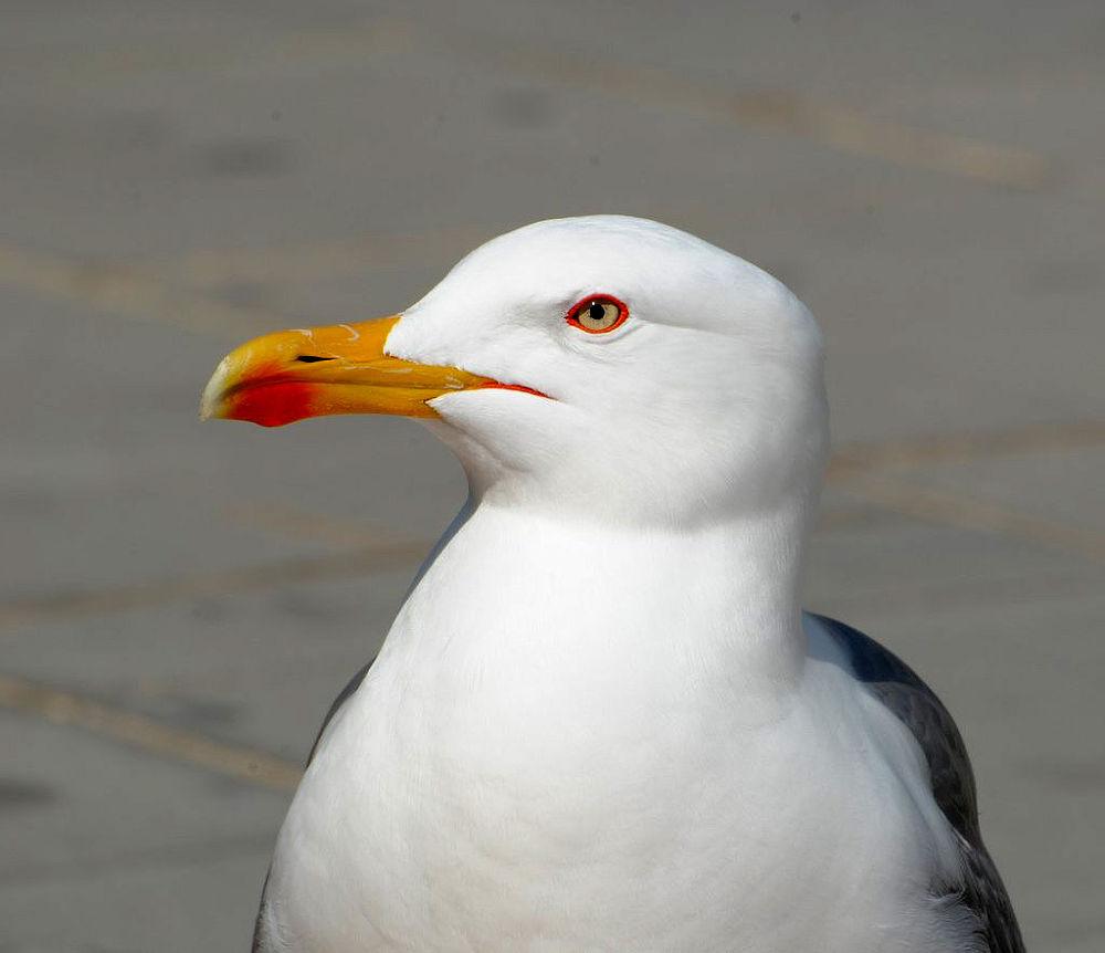 Seagull by carmelin06