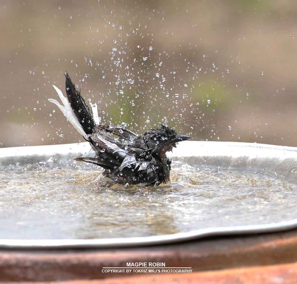 magpie_robin by Mohd Ridhwan Jamian (TokRiz MRJ)