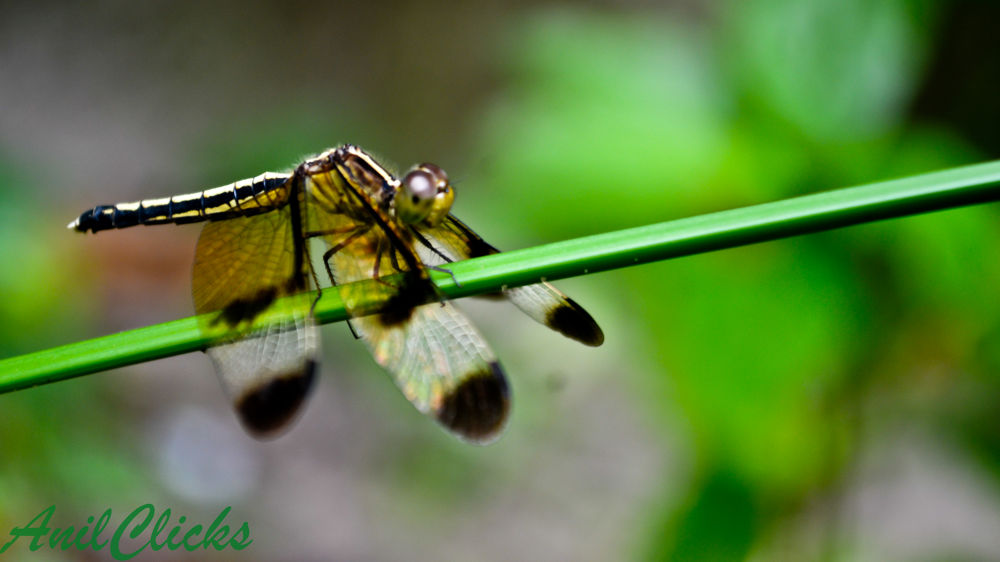 Dragon Fly by mranilnairg