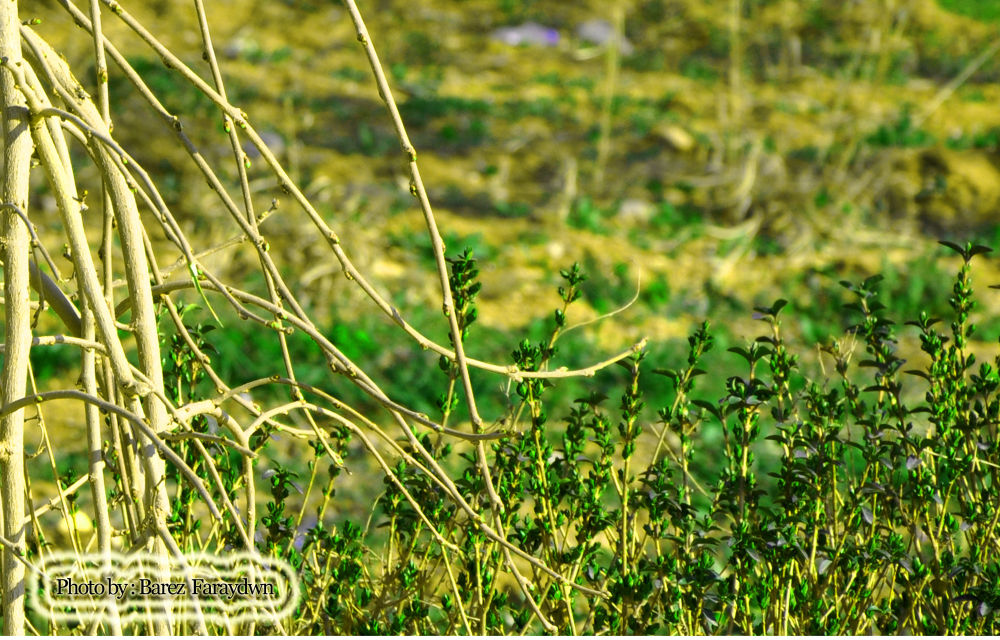 barez blaw krawa  (11) by barez