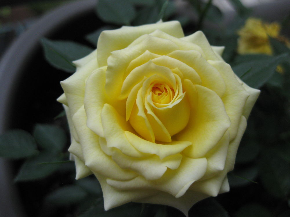 yellow rose by HelenChan