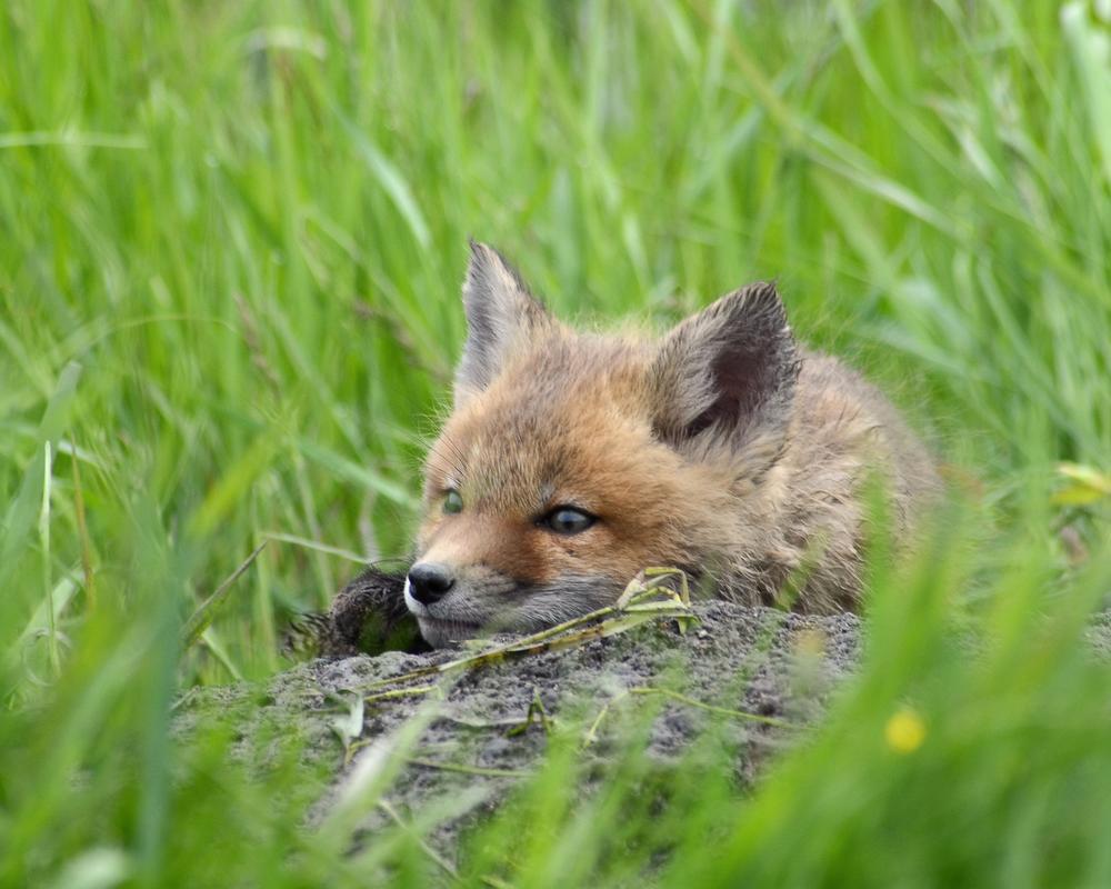 Lazy Fox by Jane Borgen