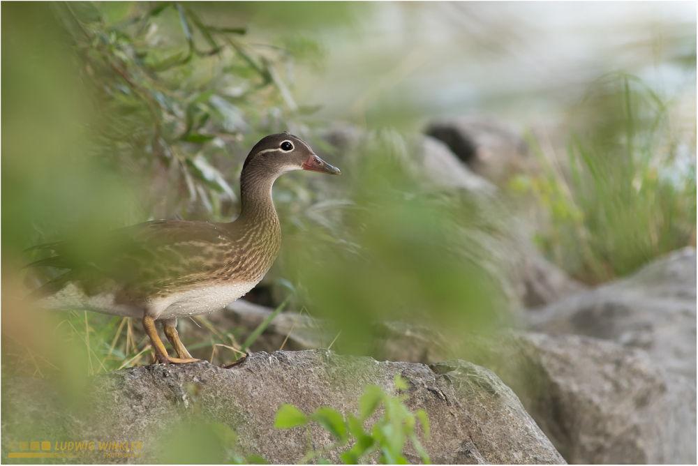 Duck by Ludwig Winkler