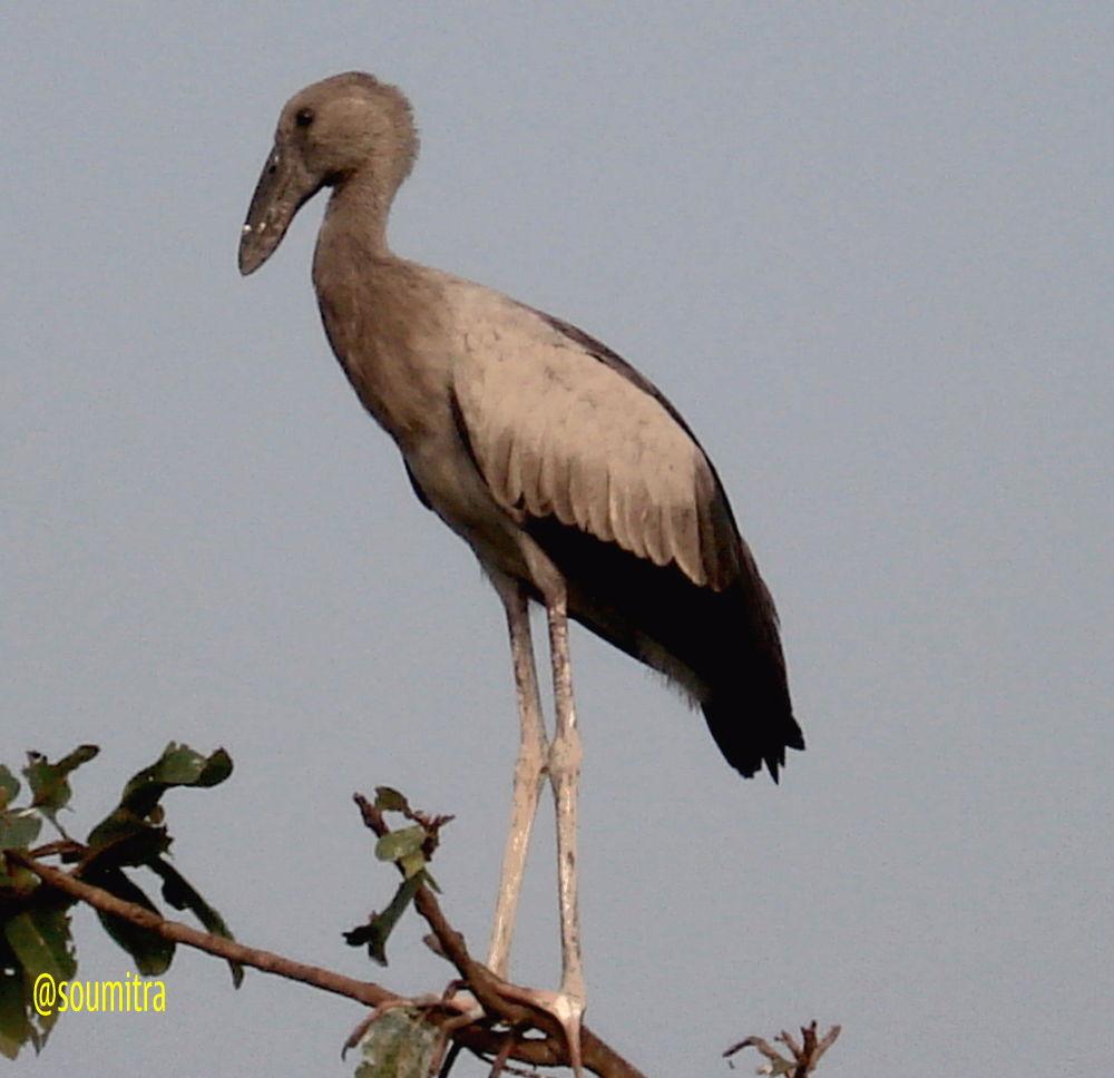 open billed stork by soumitramaity39