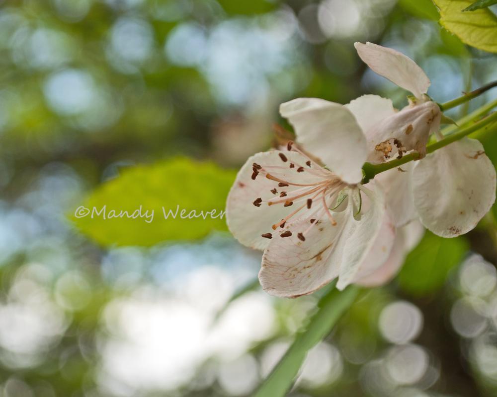 Blossom by Mandy Weaver