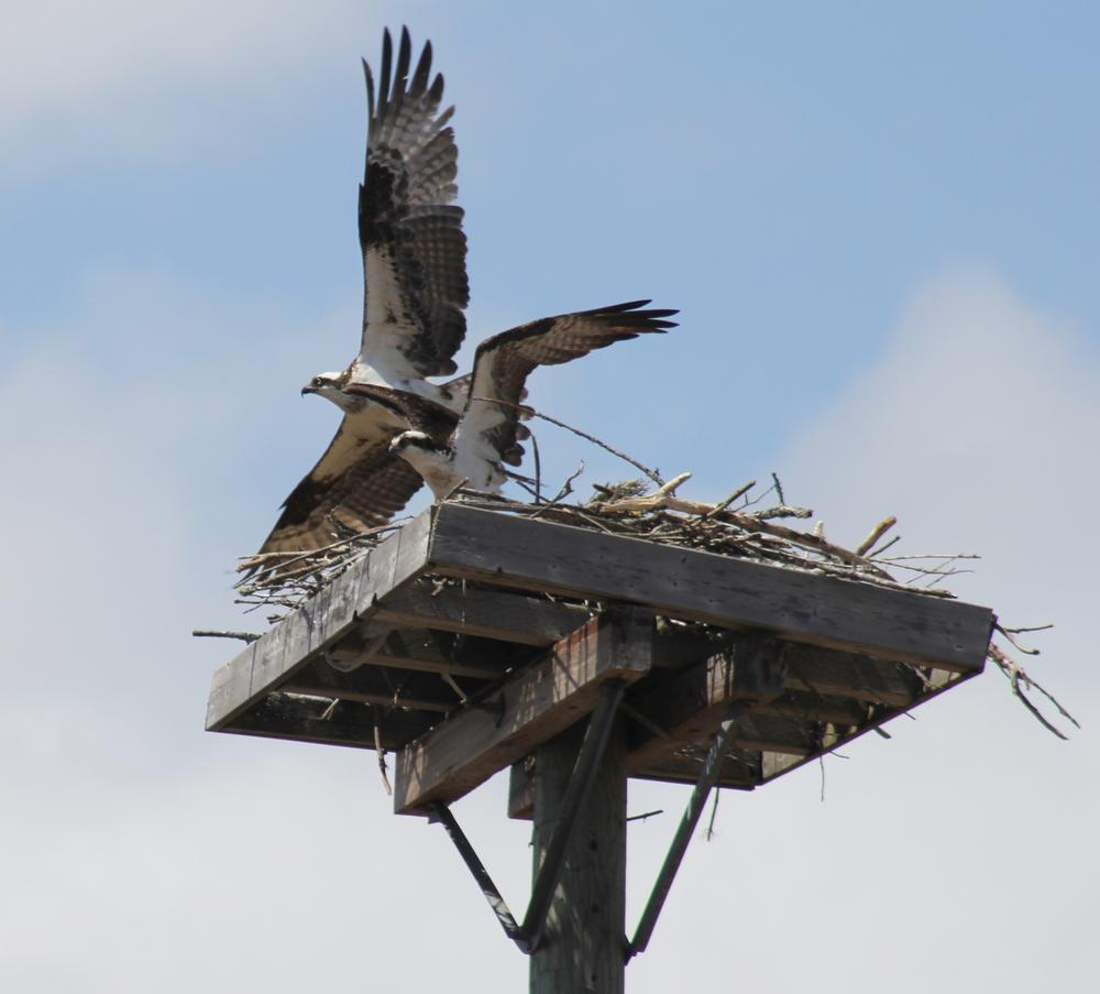 Ospreys 1 North Riverfront Trail Fredericton by HaroldLDoherty