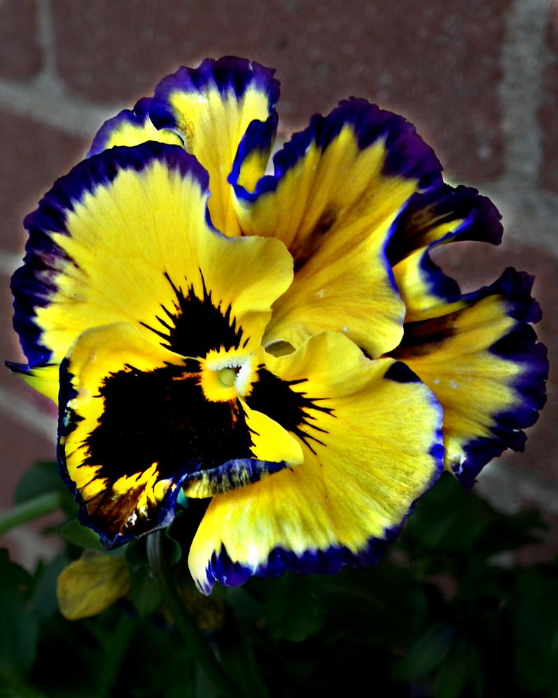 Fancy Pansy by Riker