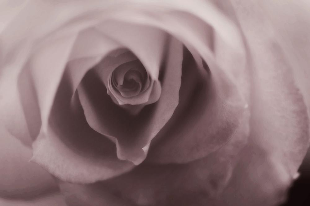 Soft rose by Catherine Dotson