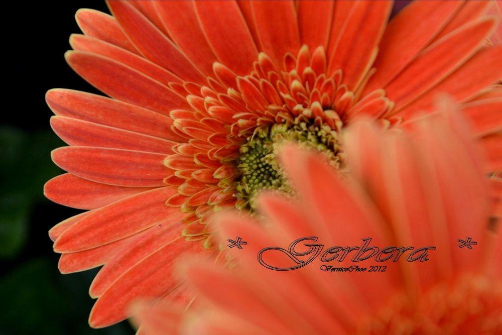 Gerbera by VerniceChoo