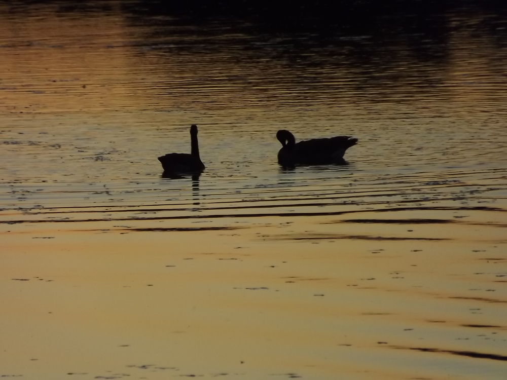 Photo in Nature #sunset #geese #lake #beautiful #fall #september #light #reflect #water #nature #photography #silouette