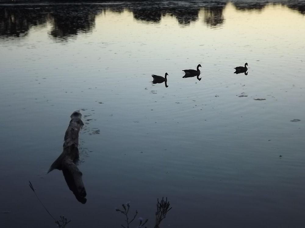 Photo in Nature #sunset #lake #geese #silouette #nature #beautiful #amazing #peaceful #water #minnesota #photography