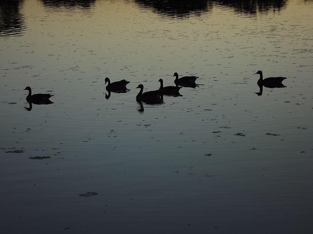 Photo in Nature #sunset #nature #geese #bird #birds #water #lake #beautiful #amazing #silouette #photography #night