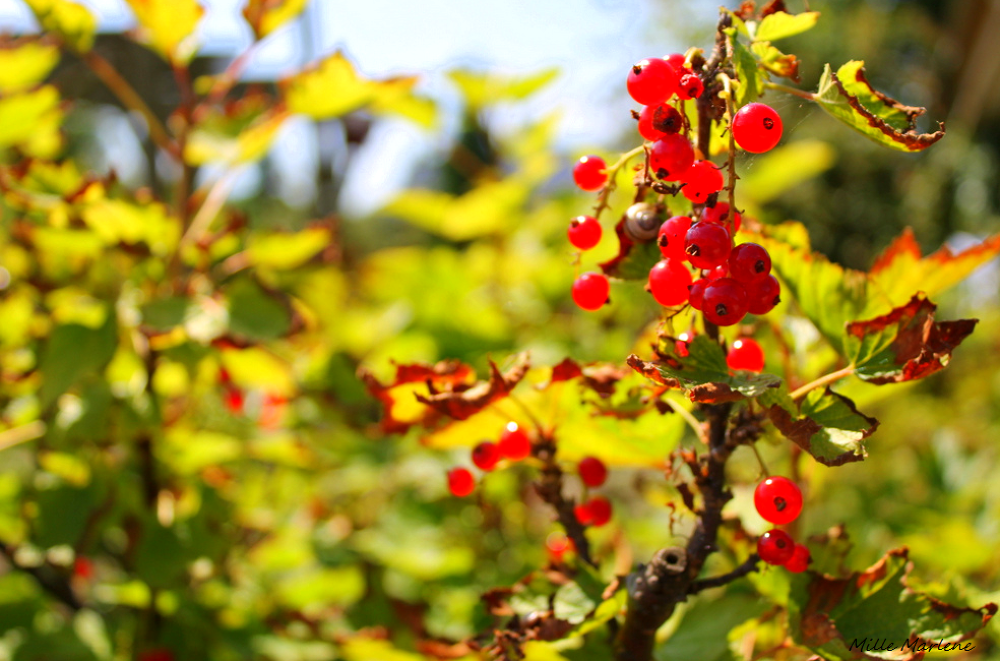 Berries by MilleMarlene