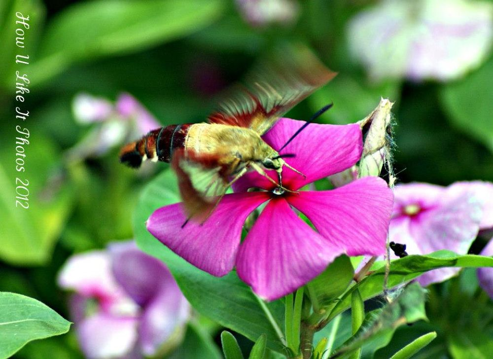 Hummingbird Moth. by Irene