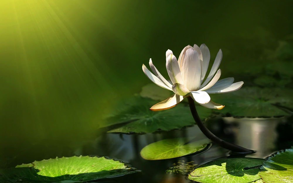 water-lily-sun by mohammad52