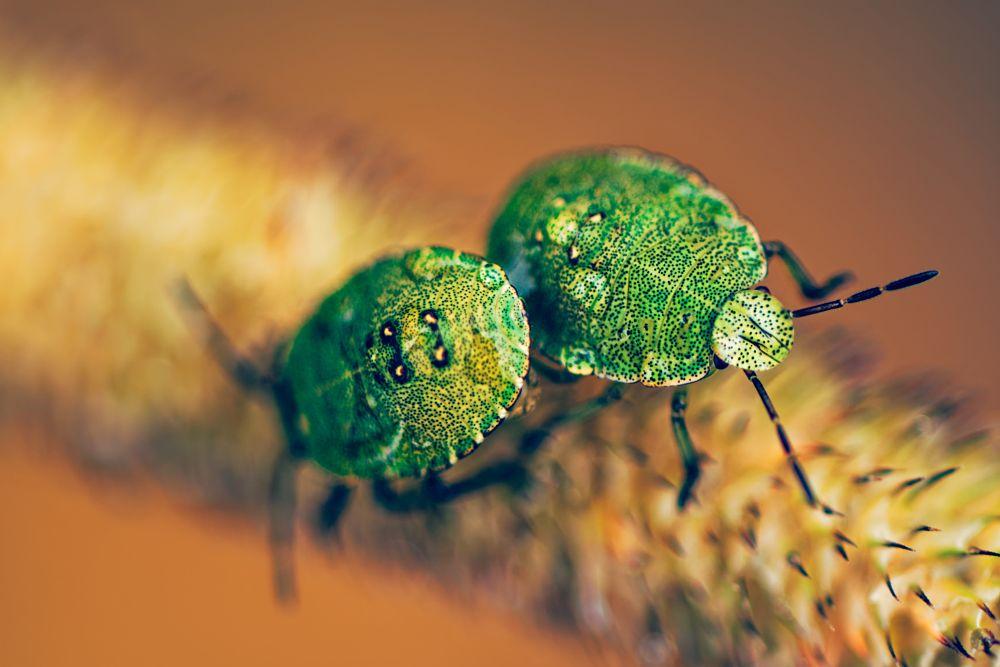 After Rain: Green Shield Bug