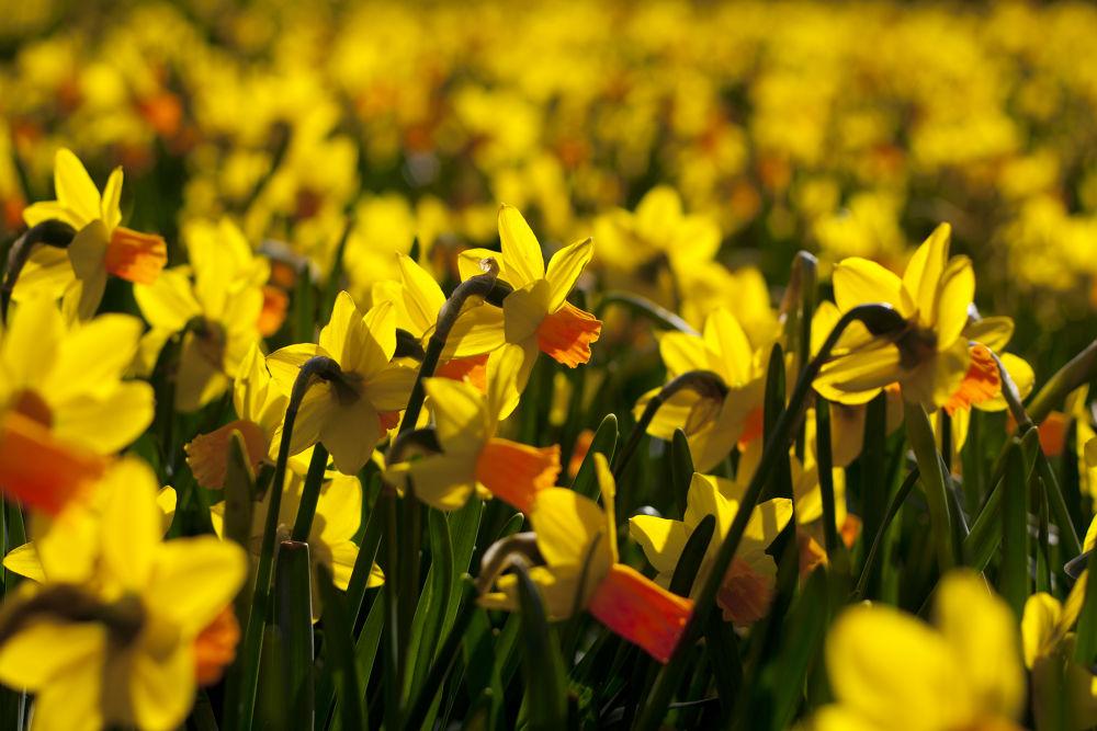 Daffodil by TomPiotrowski