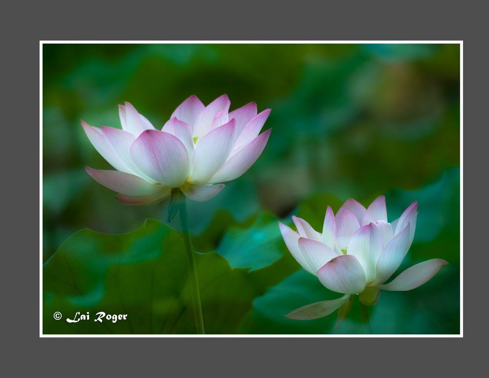 Lotus Flower_374 by RogerLai