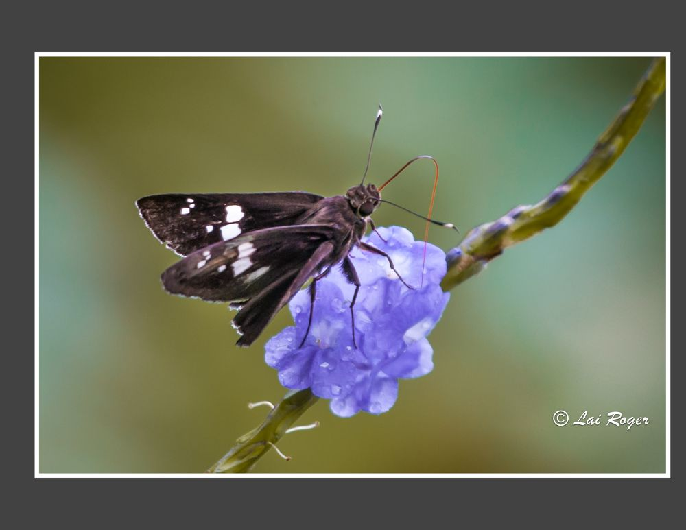 The Butterfly_406 by RogerLai
