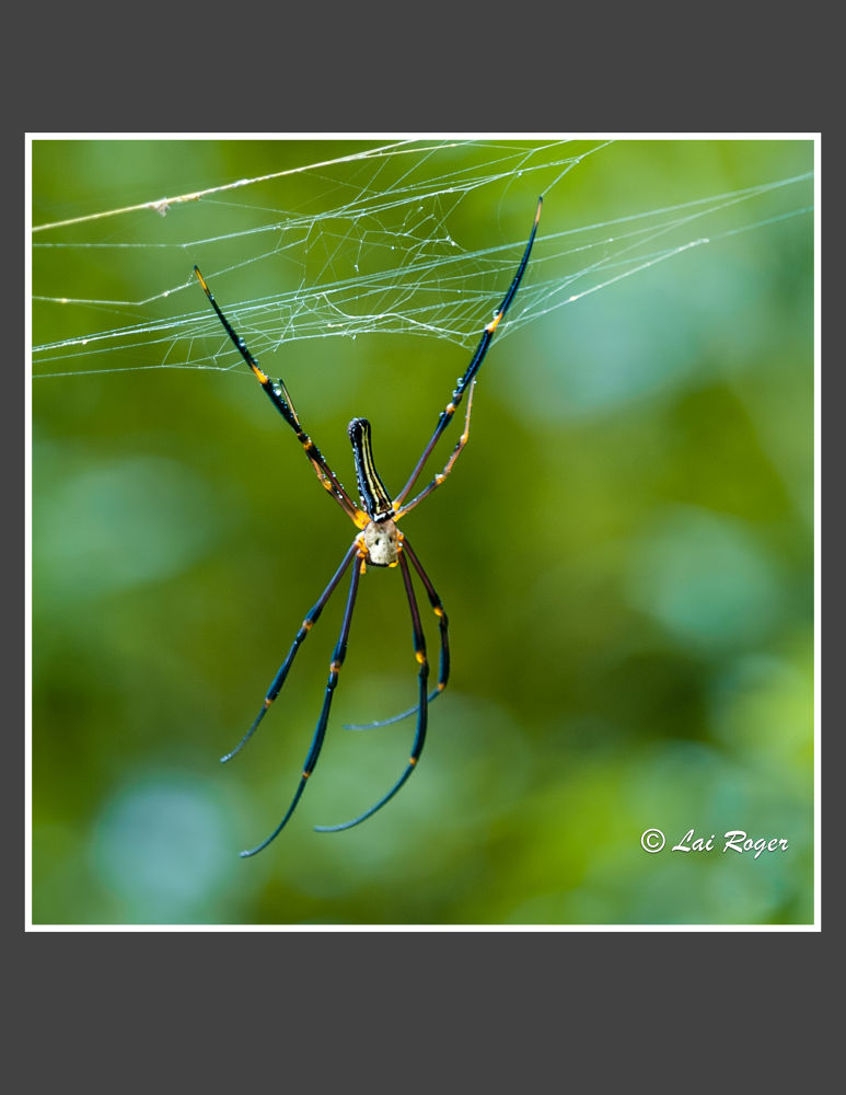 Spider_423 by RogerLai