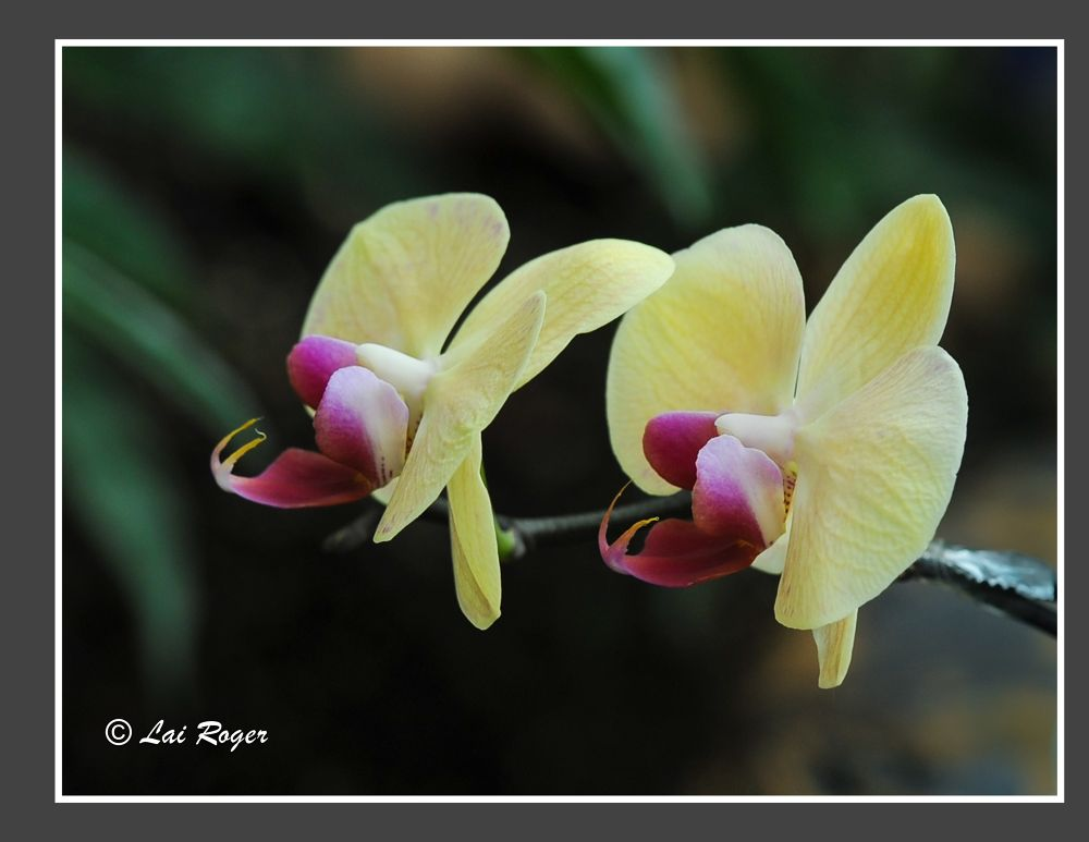 Orchid_577 by RogerLai