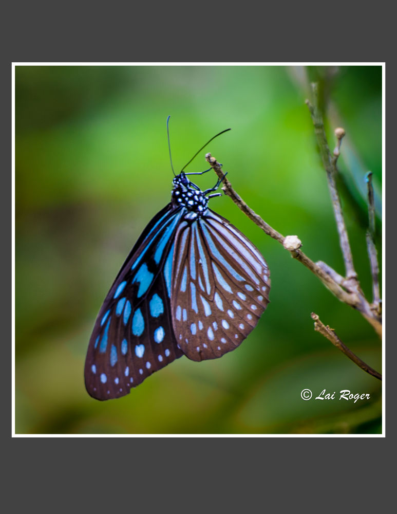 Butterfly_560 by RogerLai
