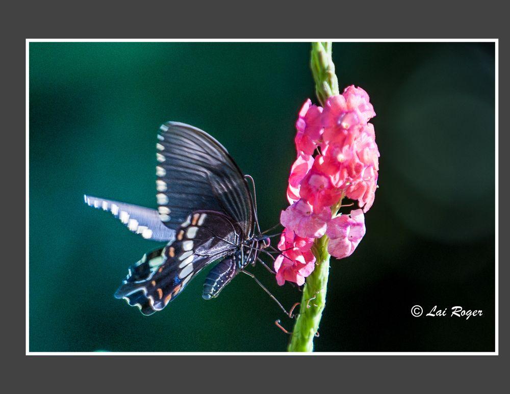 Butterfly_602 by RogerLai