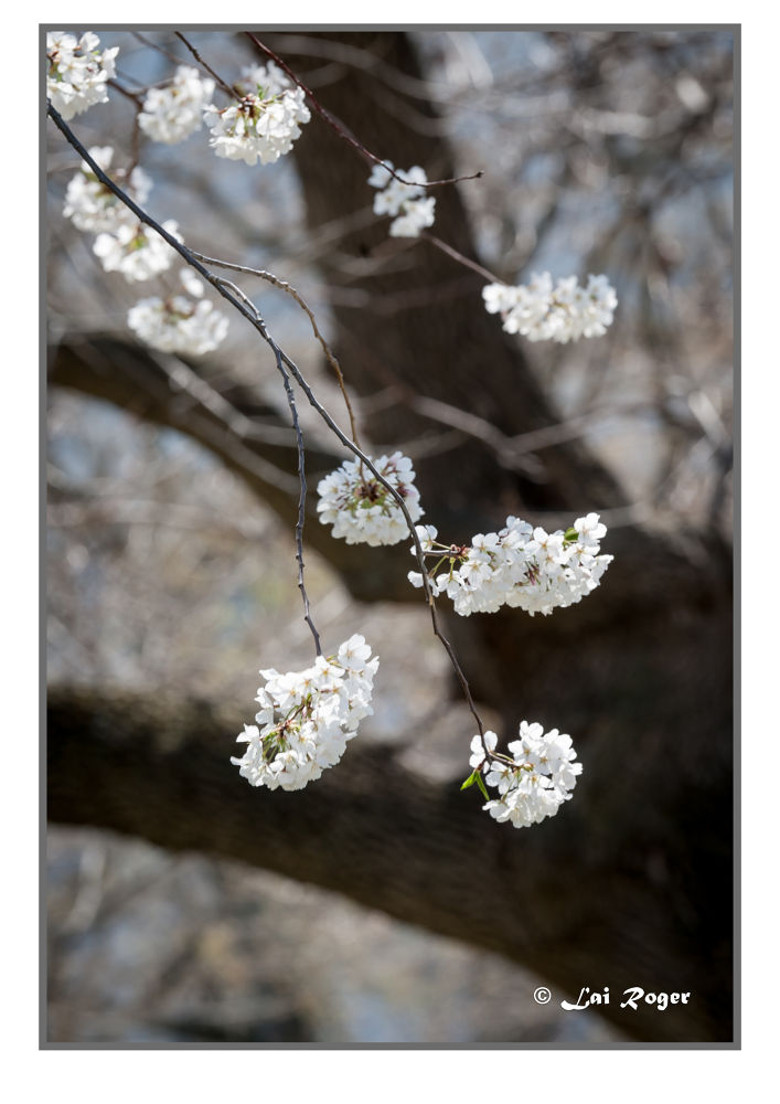 Weeping Cherry_2 by RogerLai