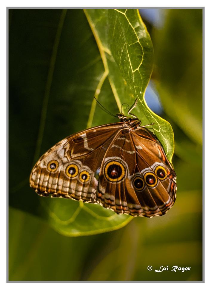 Butterfly by RogerLai