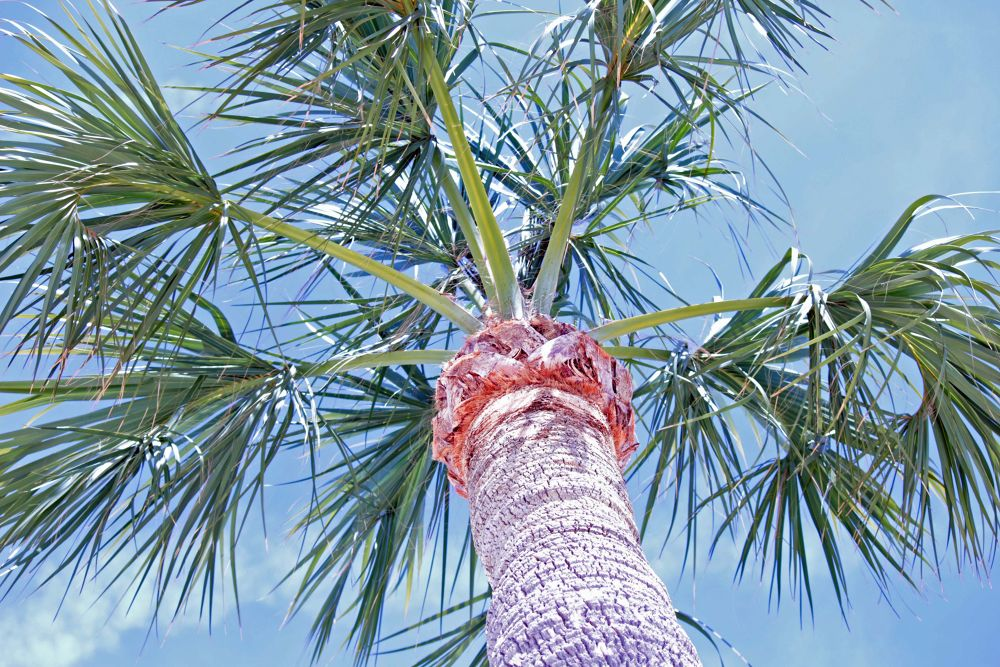 nice palm trees.jpg by Linda L. Offen